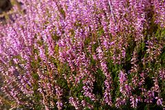 Calluna vulgaris known as common heather, ling, or simply heather. royalty free stock photography