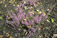Calluna vulgaris Lena with delicate purple flowers. Closeup common heater or calluna vulgaris Hilda with blurred background at fall garden royalty free stock image