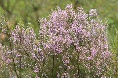 Calluna vulgaris, pianta selvatica in Galizia Spagna Fotografia Stock Libera da Diritti