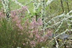 Calluna vulgaris, pianta selvatica in Galizia Spagna Immagine Stock