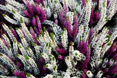 Calluna Vulgaris plants. Violete flowers Royalty Free Stock Photos