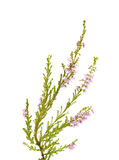 Calluna vulgaris, pospolity wrzos Obraz Royalty Free