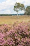 Calluna vulgaris, a typical heather flower blooming in pink. Calluna vulgaris, a typical heather flower blooming in the hoge veluwe, a heathland in the Royalty Free Stock Photo