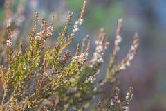 Calluna vulgaris, wrzos, wiecznozielony krzak na drewnianym t?a zbli?eniu zdjęcia stock