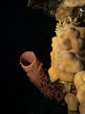 Callyspongia coral macio do tubo Fotos de Stock Royalty Free