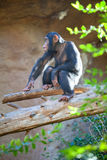 Calm adult chimpanzee playing on tree trunk in enclosure, Loro Parque zoo, Tenerife, Spain Royalty Free Stock Images