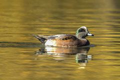 Calm American wigeon swimming in pond. A male American Wigeon swims in the pond at Cannon Hill Park in Spokane, Washington Royalty Free Stock Image