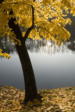 Calm autumn. Tree with yellow leaves on the bank of a lake stock image