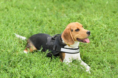 Calm beagle dog resting in park Royalty Free Stock Photos