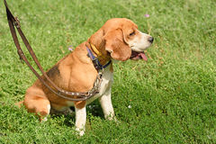 Calm beagle dog resting in park Stock Photo