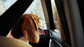 Calm beagle dog sitting in the car and looks to the window on a trip on sunset. Travel with animal stock footage