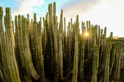 Calm Cactus Desert Sunset. In Tenerife Canary Island royalty free stock image