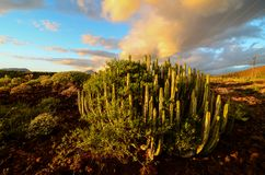 Calm Cactus Desert Sunset. In Tenerife Canary Island Royalty Free Stock Photos
