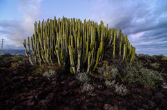 Calm Cactus Desert Sunset. In Tenerife Canary Island Stock Images