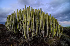 Calm Cactus Desert Sunset. In Tenerife Canary Island Stock Image