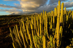 Calm Cactus Desert Sunset. In Tenerife Canary Island Royalty Free Stock Photography