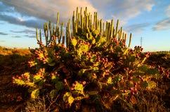 Calm Cactus Desert Sunset. In Tenerife Canary Island Stock Image