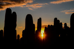 Calm Cactus Desert Sunset Royalty Free Stock Image