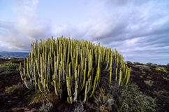 Calm Cactus Desert Sunset. In Tenerife Canary Island Royalty Free Stock Photo