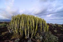 Calm Cactus Desert Sunset Royalty Free Stock Photo