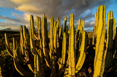 Calm Cactus Desert Sunset. In Tenerife Canary Island royalty free stock images