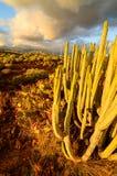 Calm Cactus Desert Sunset Stock Images