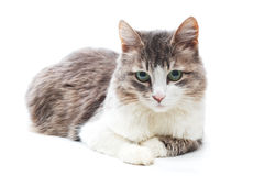 Calm cat. Portrait of lying cat with green eyes on white Stock Photos