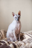 Cat sphinx sitting on a bed Royalty Free Stock Images