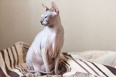 Calm cat sphinx sitting on a sofa Stock Photo