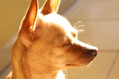 A calm chihuahua with closed eyes Royalty Free Stock Photos