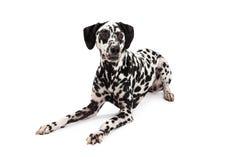 Calm Dalmatian Dog Laying Stock Image