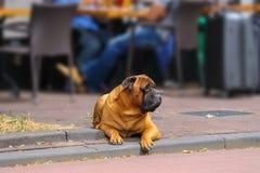 Calm dog lying on a sidewalk Stock Photos
