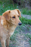 Calm dog observing Royalty Free Stock Photo