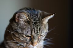 Calm, domesticated pet cat looking down, indoors. Cat looking downard, looking kind of sad, indoor shot, domesticated royalty free stock photo