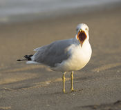 Calm down, Mr. Intense!. A seagull squaks on West Palm Beach on the Atlantic Ocean Royalty Free Stock Image