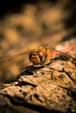 Calm dragonfly on a piece of wood in brown royalty free stock photo