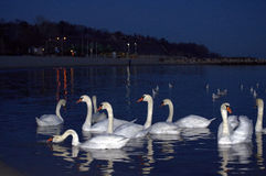 Calm evening sea and dazzling white swans Royalty Free Stock Photo
