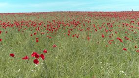 A calm flight over a field of red poppies, aerial view. Shot. Aerial view of red poppy field.  stock video footage