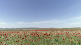A calm flight over a field of red poppies, aerial view. Shot. Aerial view of red poppy field.  stock video