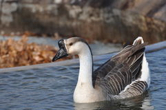 Calm Goose Stock Images