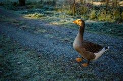 Calm goose Stock Image
