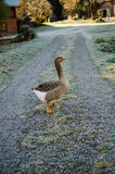Calm goose Royalty Free Stock Photography
