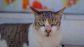 Calm green-eyed cat lying on the stairs, licking and looking at the camera stock video footage