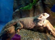 Calm Iguana Stock Image