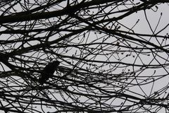 A Calm Image Of A Crow Sitting Among The Branches Of A Dying Tree royalty free stock images