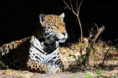 Calm Jaguar Stock Photo
