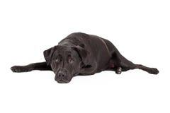 Calm Labrador Retriever Dog Royalty Free Stock Photo
