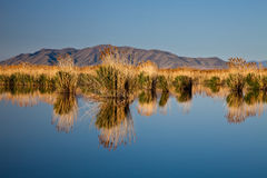 Calm Lake with Clumps of Reeds Stock Photo