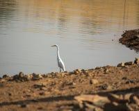 Blue heron on lake stock photos