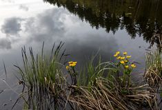 Calm lake with yellow flowers on shore Royalty Free Stock Photos